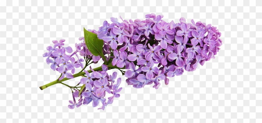 Transparent Lilac Clipart - Lilac Flower Clip Art #839237