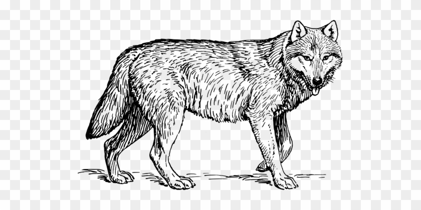 Wolf Animal Biology Canine Carnivore Mamma - Realistic Wolf ...