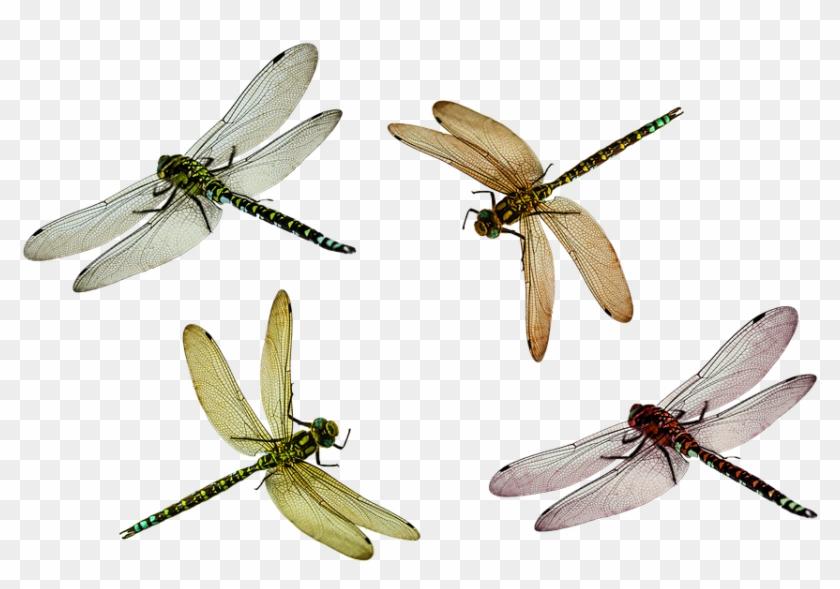 سكرابز حشرات Dragonfly Png24 - Flying Dragonfly Png #854325