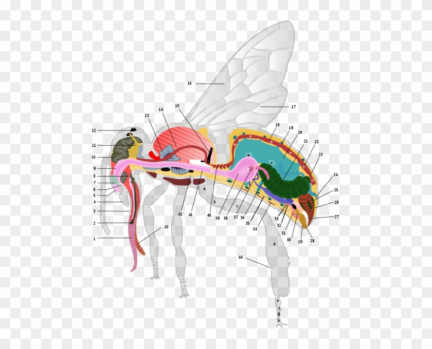 cd132d0e777c4 pin Anatomy Of A Honey Bee - Anatomy Of The Honey Bee  861955