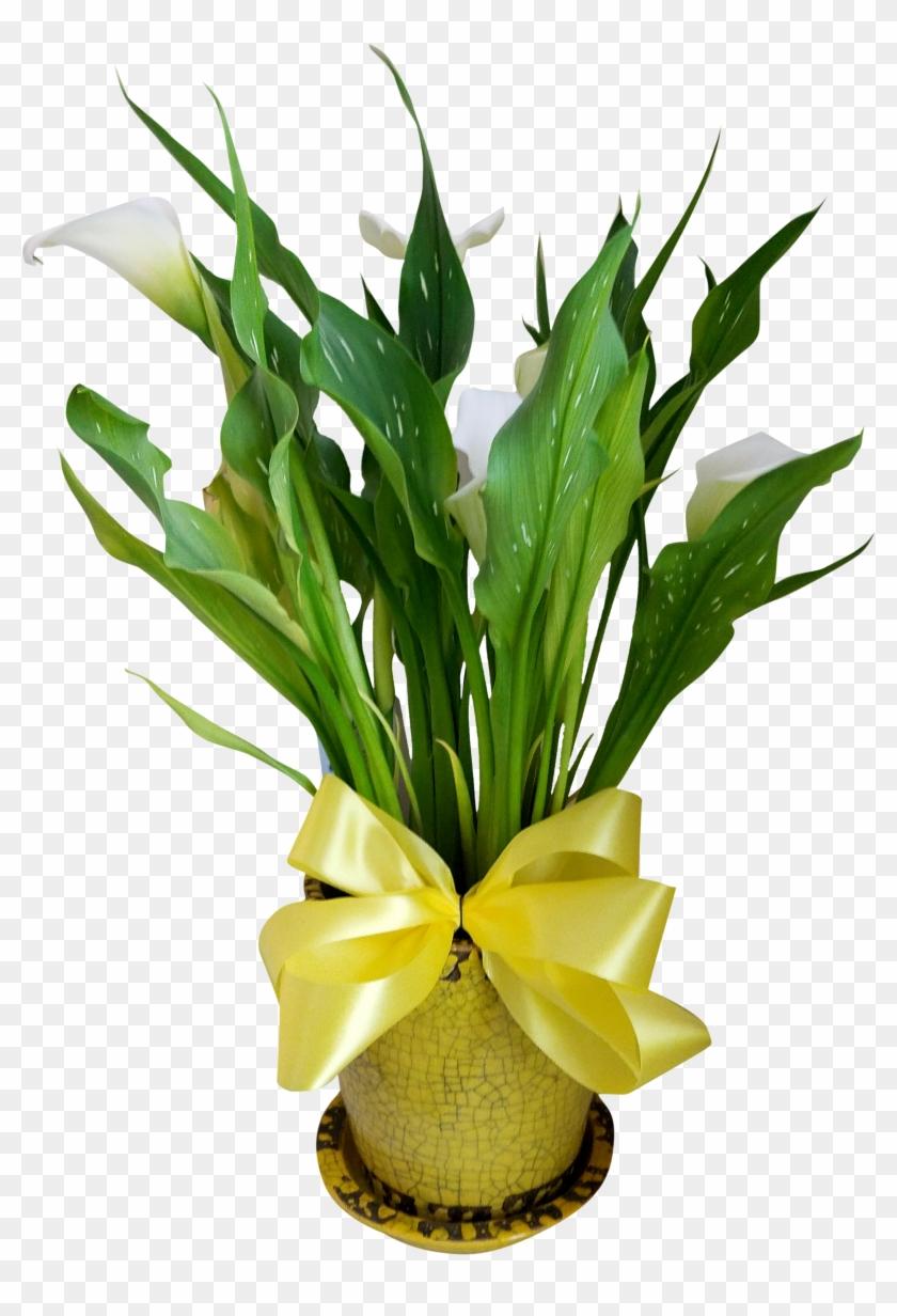 Calla Lily Plant - Calla Lily #862560