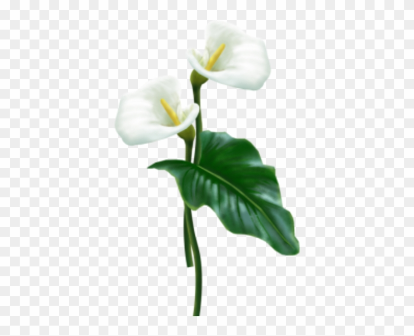 Flower - White Calla Lily Png #862587