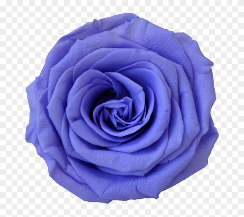 Blue Rose #876176