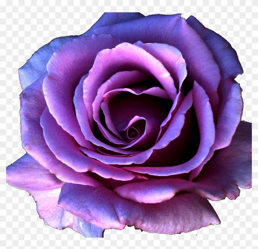 9 Kb, Gallery, Bulk Purple Roses - Purple Rose Flower Png #876207