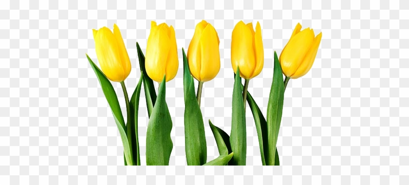 Yellow Tulips Clipart - Yellow Tulip Flower Png #877774