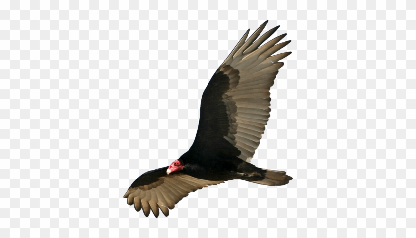 Vulture Open Wings Download In Png Format - Vulture Png