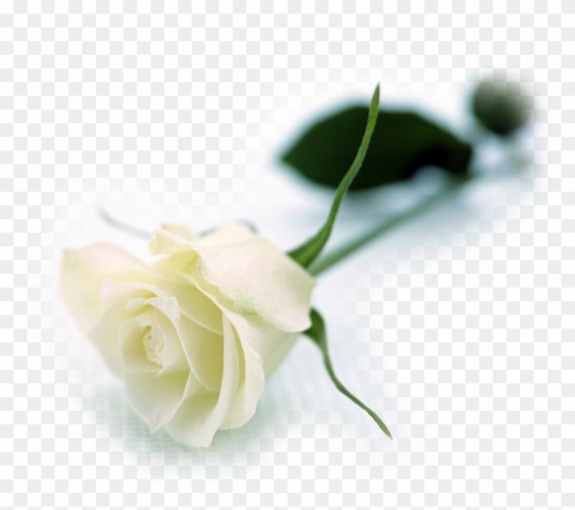 White roses flowers wallpapers white long stem rose free white roses flowers wallpapers white long stem rose mightylinksfo