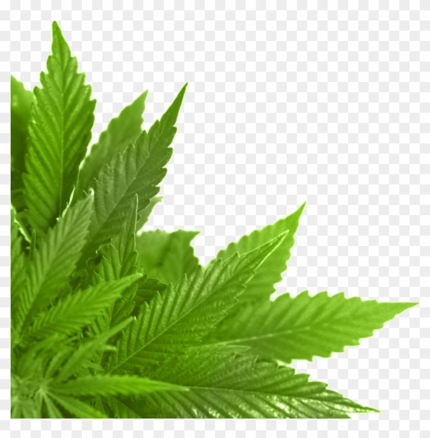 Лист конопли в картинках док фильмы о марихуане