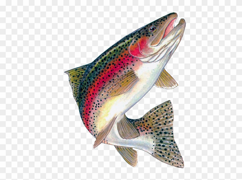 Trout Clipart - Rainbow Trout Jumping Out Of Water #895517