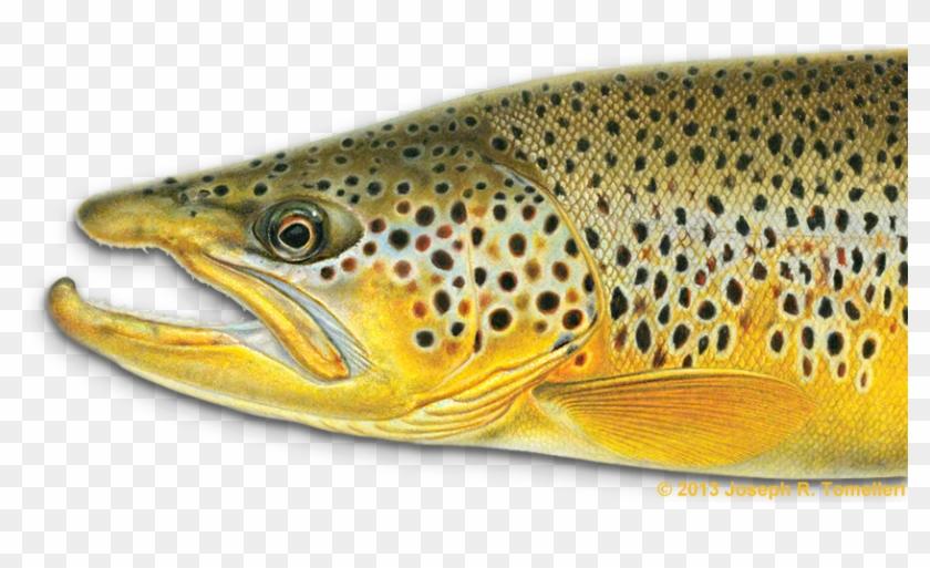 Trout Clipart Freshwater Fish - Joe Tomelleri Fish Art #895548