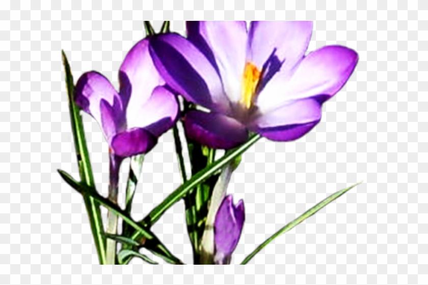 Purple Flower Clipart Crocus - Purple Spring Flowers Clipart #896032