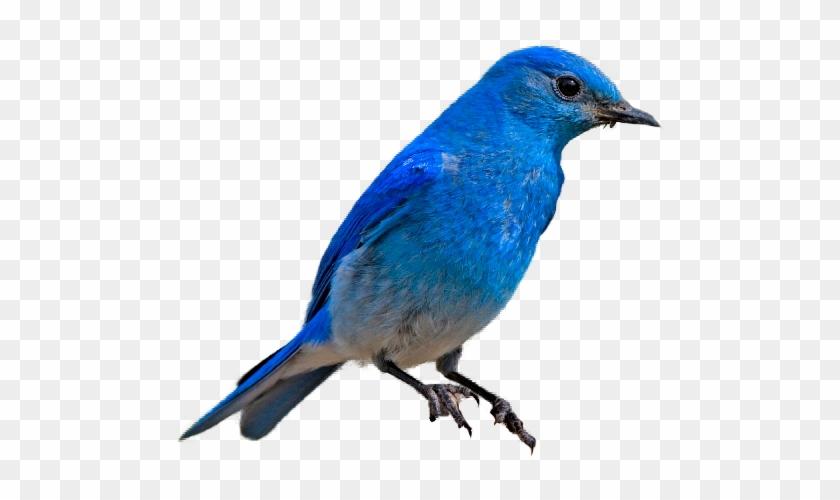 Mountain Bluebird Transparent Background #18462
