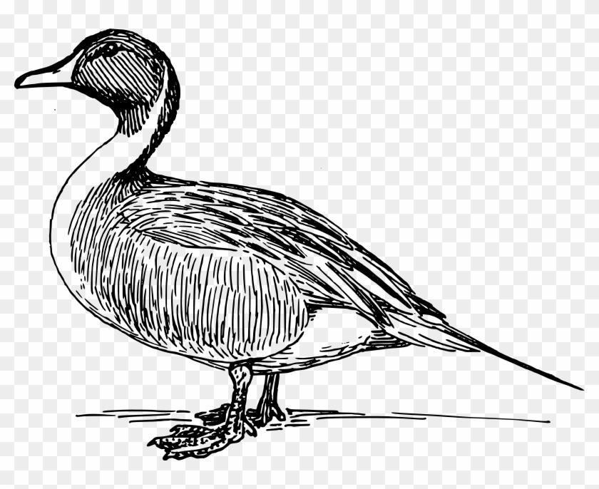 Mallard Clip Art - Duck In Black And White #19069