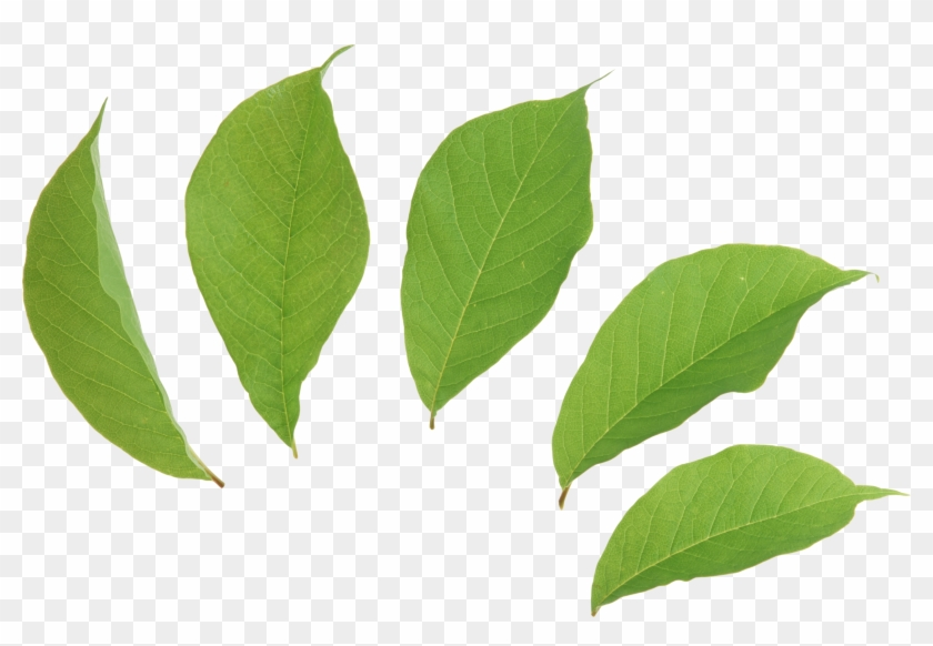 Green Leaves Two Isolated Stock Photo By - Leaves Png #20595