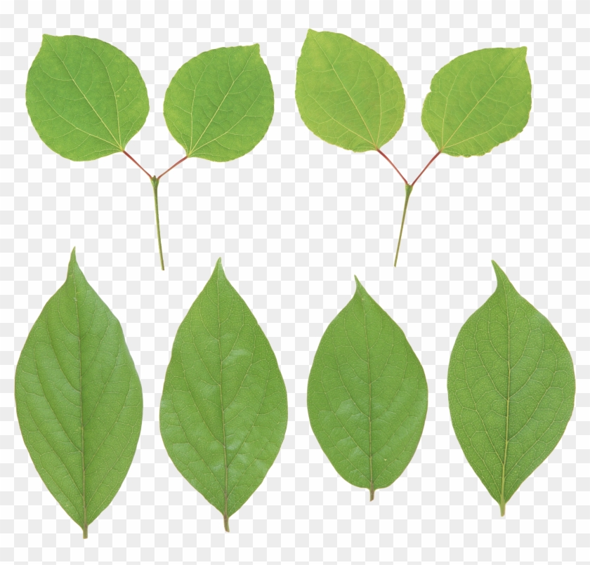 Green Leaf Png - Portable Network Graphics #20678
