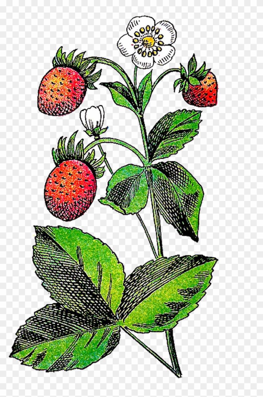 Strawberry Flower Fruit Plant Clip Art - Strawberry Flower Fruit Plant Clip Art #21333