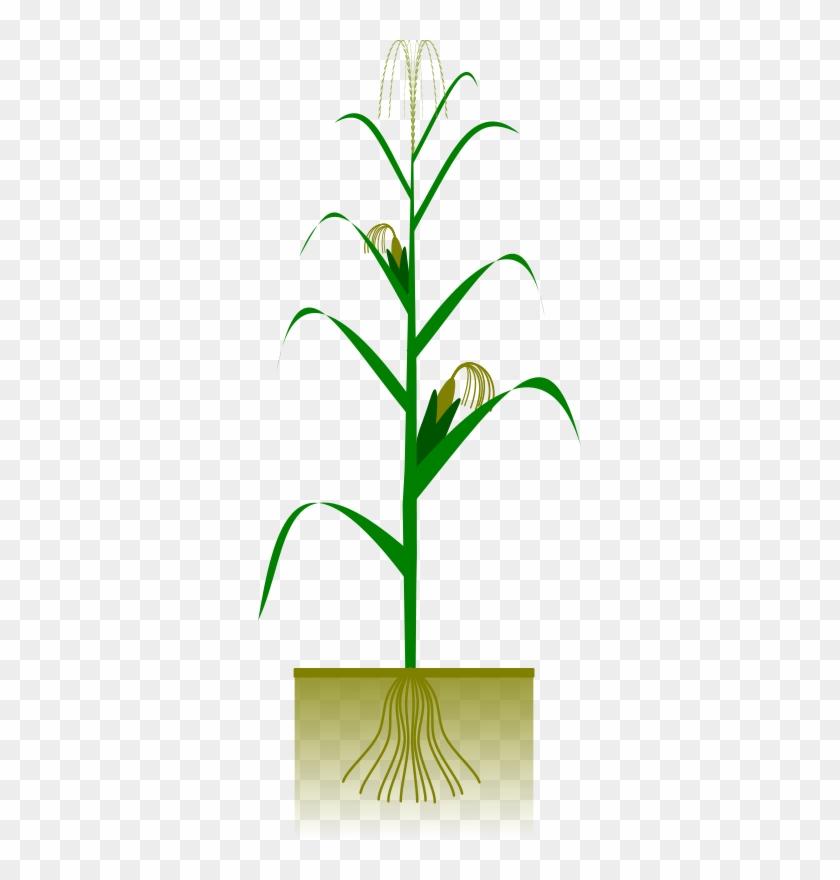 Maize Plant Free Vector - Maize Plant #23729