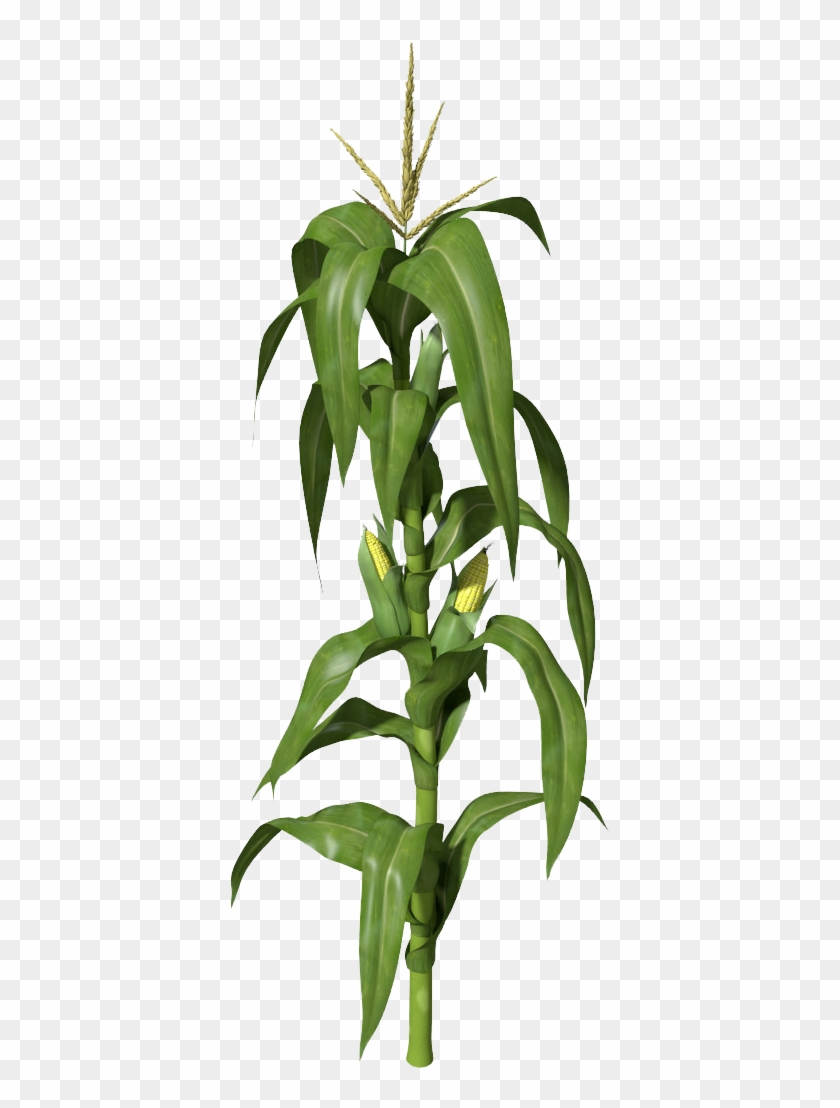 Corn - Corn Stalks Illustration #24088