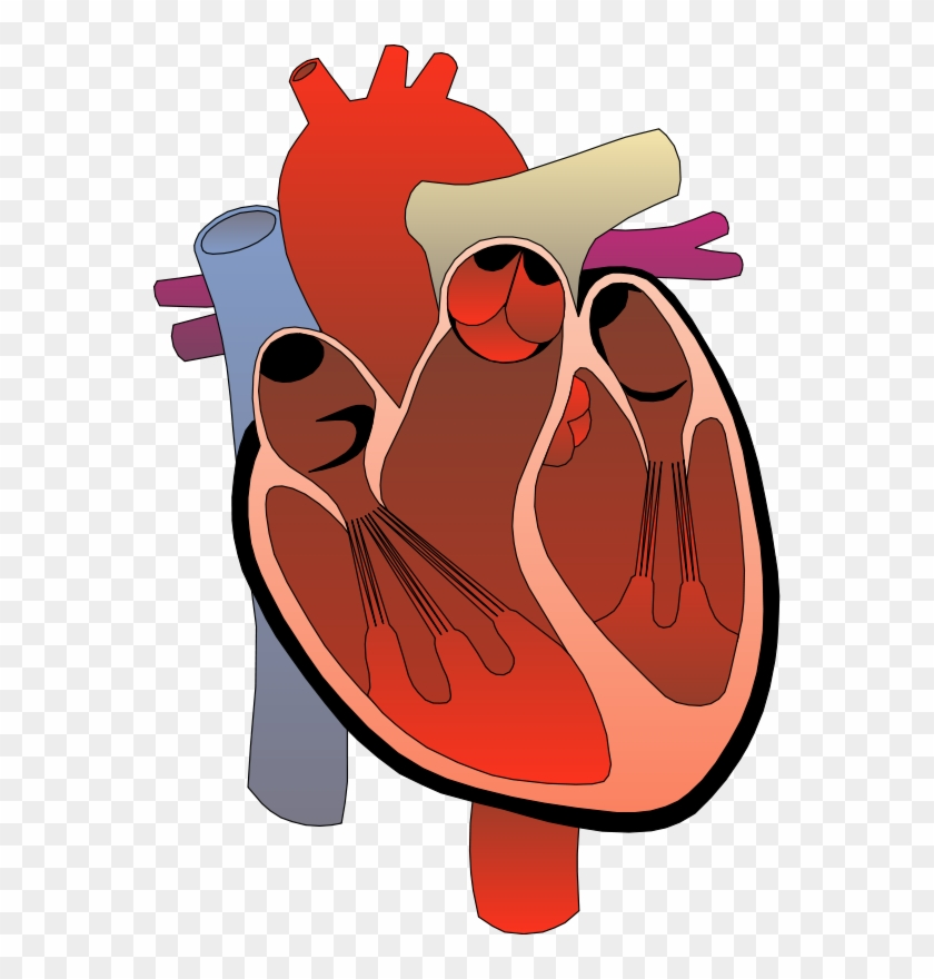Image Of Anatomy Clipart - Human Heart Transparent Background #168707