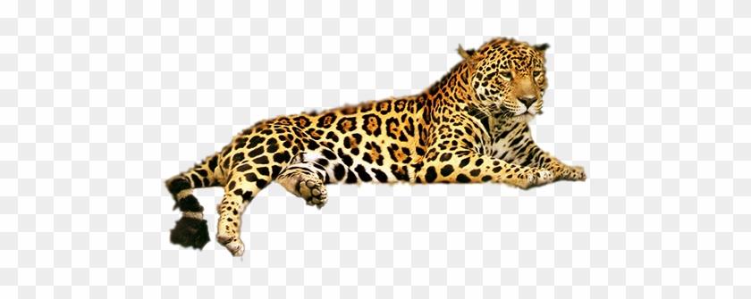 Drawing Jaguar Coloring Pages : Bulk Color | 335x840