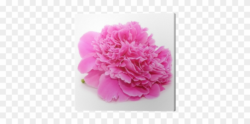 Pink Peony Flower Isolated On White Background Canvas - Catseye Blue Bunny On Flower Clam Mirror #938608