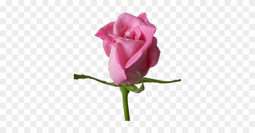 Pink Beauty Flower Single Rose: Www Csl Plasma Com Account Balance
