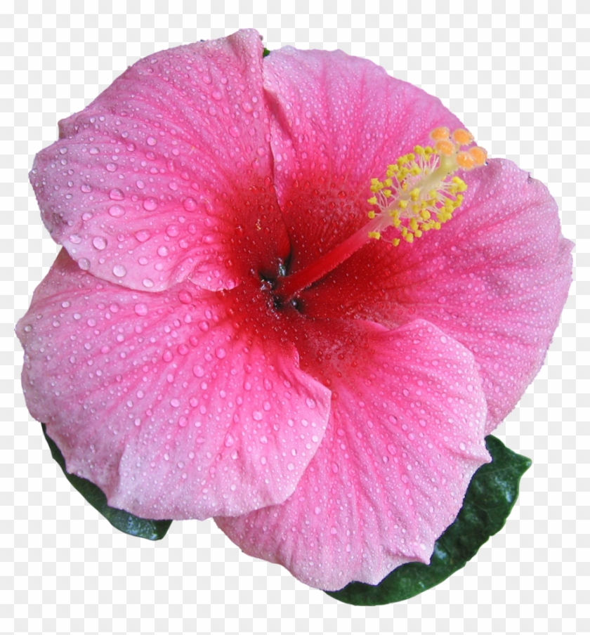 Hibiscus Pink By Hrtddy Sweet Pink Hibiscus Hardy Flower Seeds