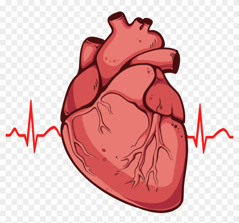 Human Heart Clipart Png Real Heart Drawing Free Transparent Png