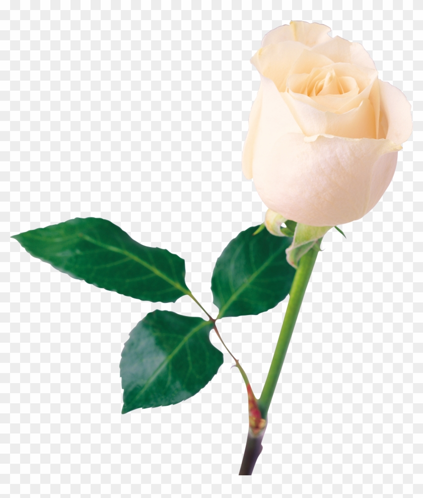 White Rose Clipart Transparent - White Rose Png #171114