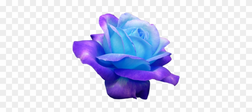 Ok Heres Another One I Wanted To Show U And Im Not - Real Blue Roses #171141