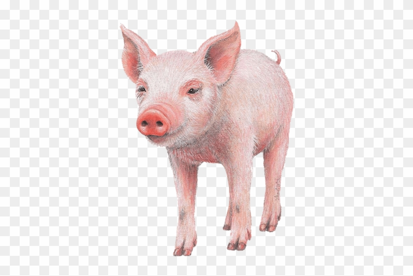 Pig Farm Animal Wall Decal Sticker - Pig Front Wall Decal, Home Decor Decals, #965167