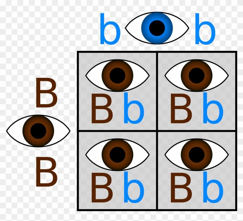 If - Punnett Square Eye Color #176174