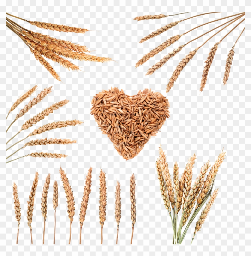 Rice Download Cereal Wheat - Wheat #998072