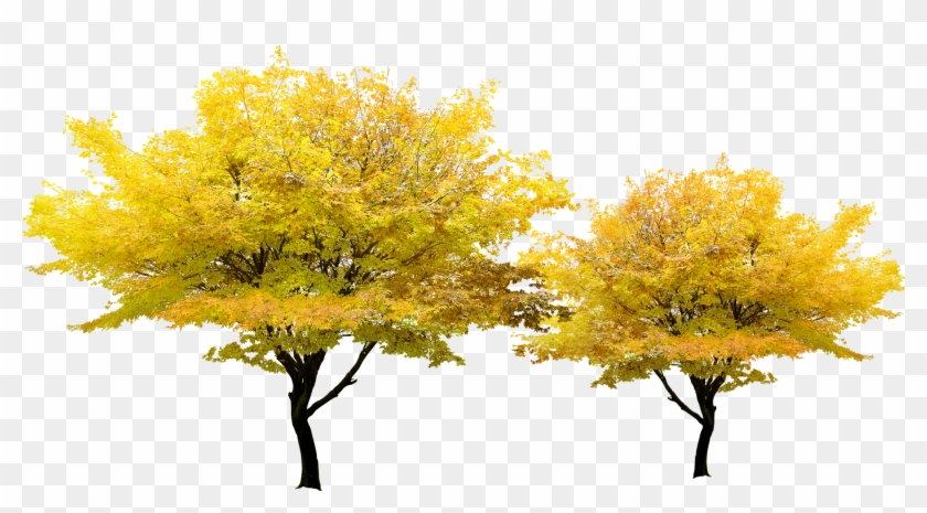 Tree Yellow Pixel - Japanese Maple Png #998122
