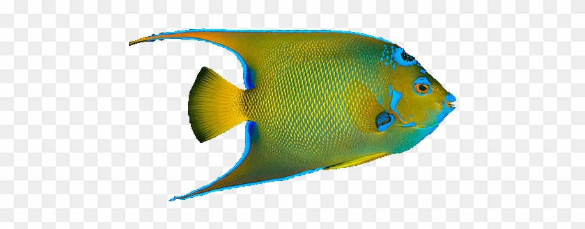 Angel Fish Png Tropical Fish No Background Free Transparent Png