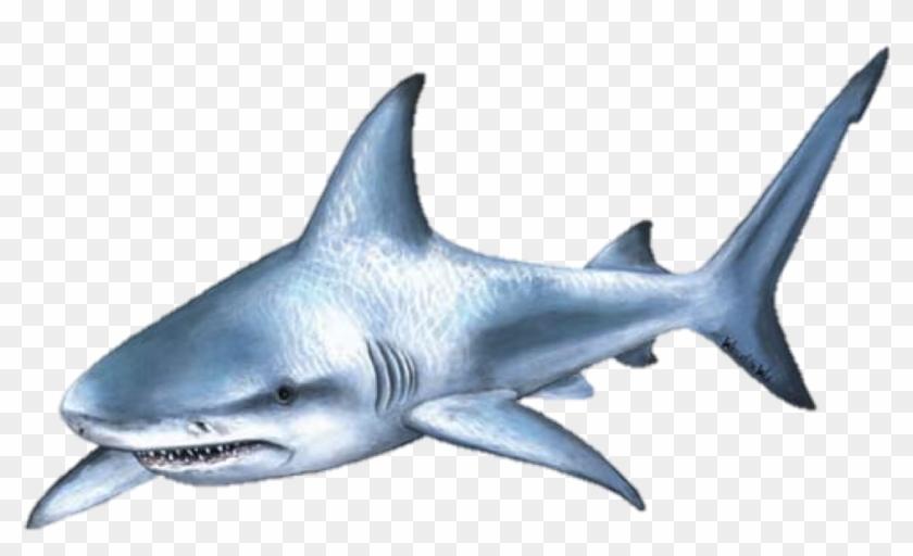 Shark Attack Bull Shark Clip Art - Bull Shark Transparent