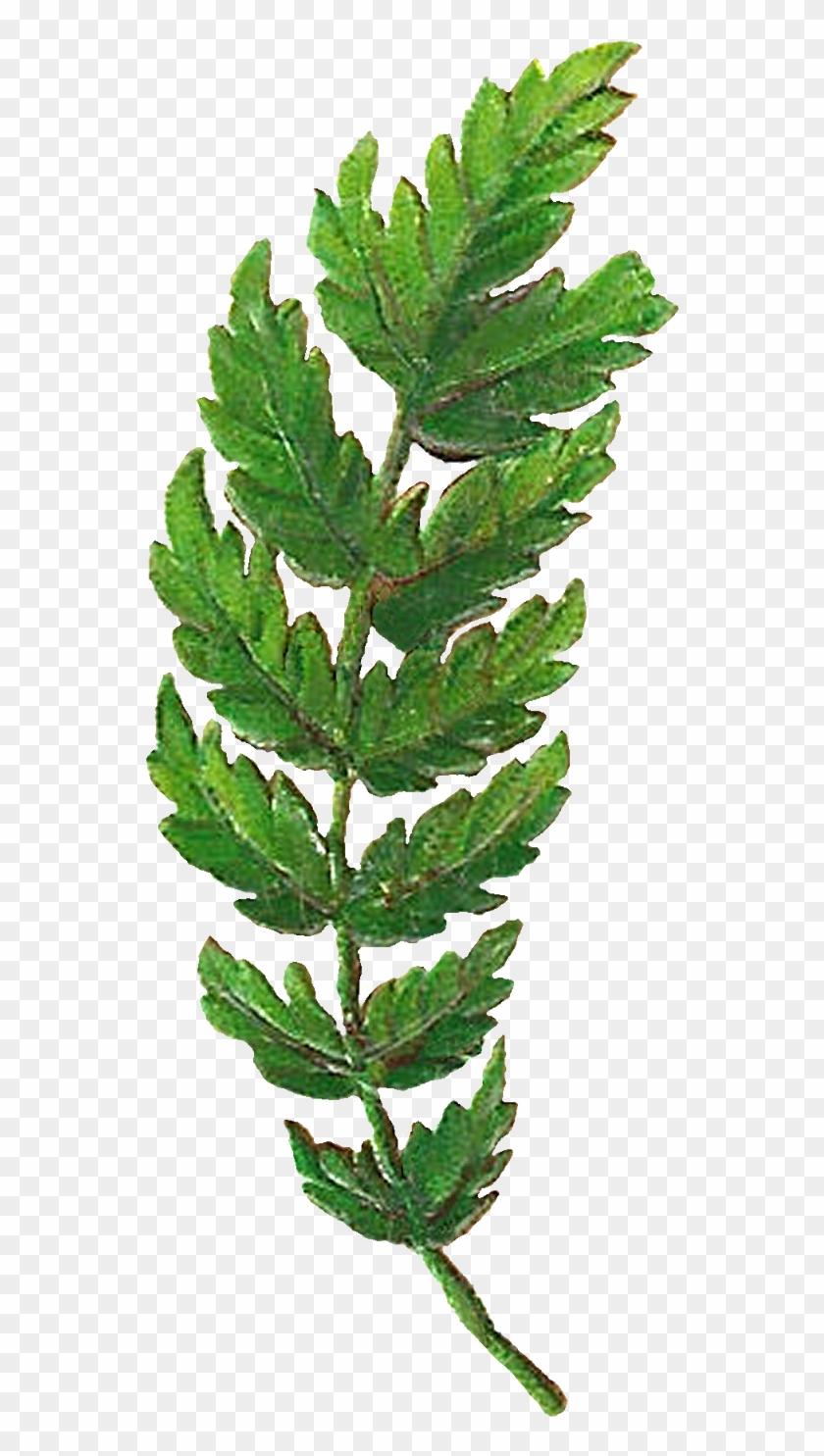 Botany Clipart Vintage Clip Art Flower PNG JPG Clipart Vintage Illustration Digital Download PNG Illustration Digital Graphic 2250