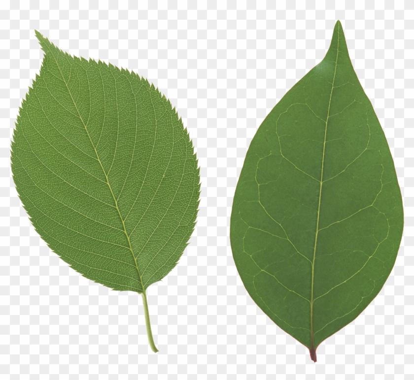 Leaf Free Download - Apple Leaf Png #1011494