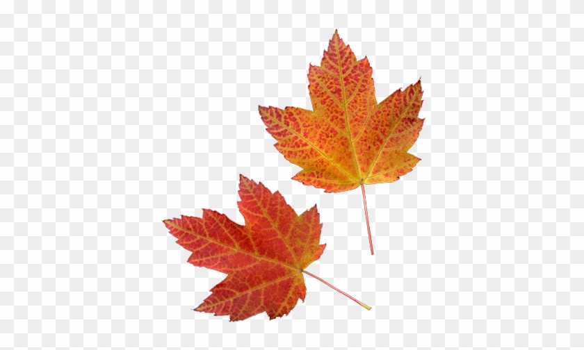 Autumn Leaves X Click Here For Transparent Flowers - Maple Leaf #1014863