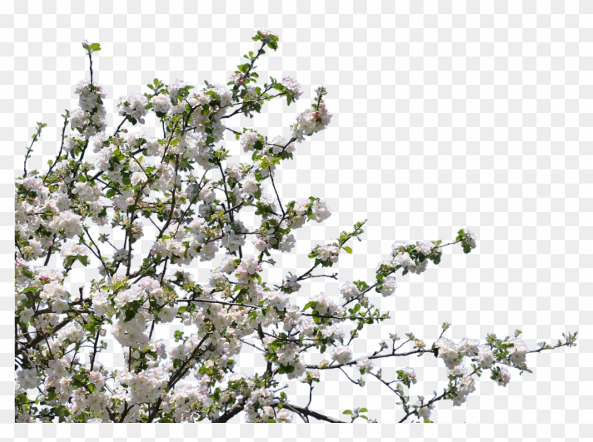 Tree, Flowers, Cherry, Apple, Isolated, Png - Tree With Flowers Png #1018530