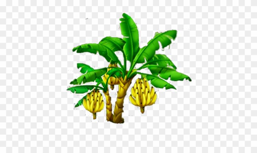 Banana Tree Harvest 3 Banana Tree Free Transparent Png Clipart