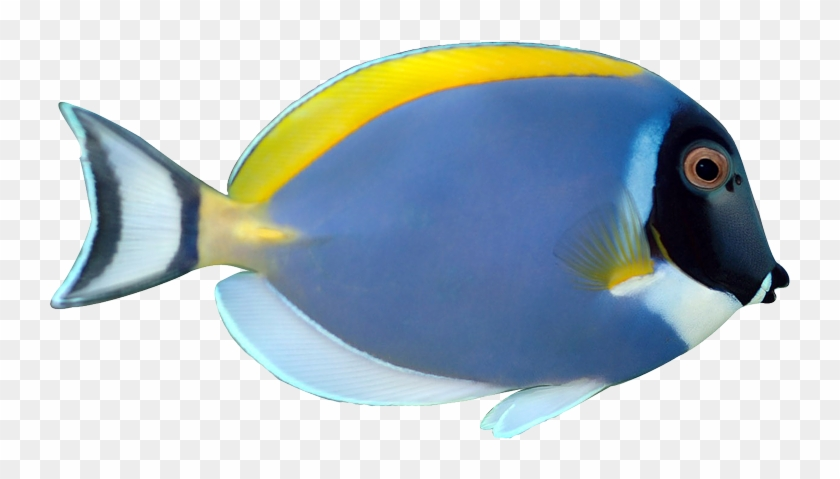 Powder Blue Tang Fish Animalgals Nxo4dp Clipart - Powder Blue Tang Png #180810