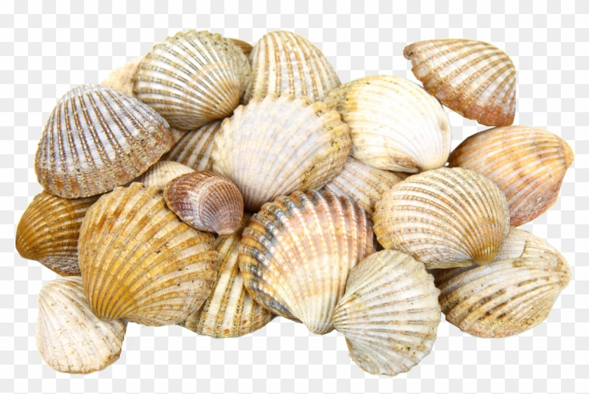 28 Collection Of Seashell Clipart Transparent Background - Sea Shells Transparent #1031568