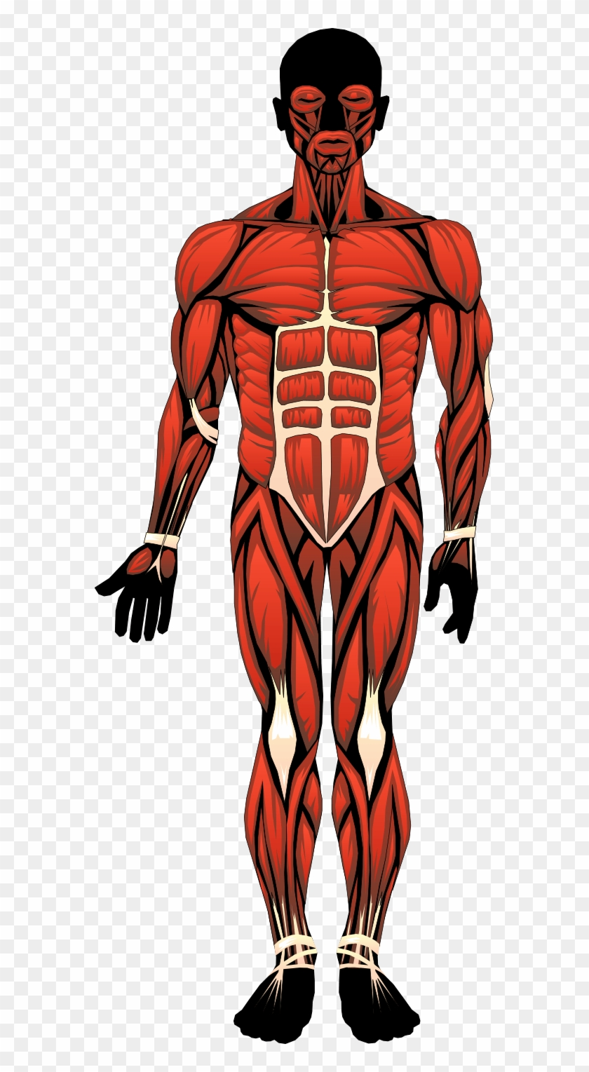Clipart Anatomy Human Body Skeletal Muscles Located In The Body