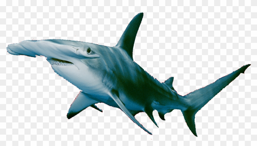 Mako Shark - Attacks - 10 - Fatalities - 1 - Non Fatalities - Hammerhead Shark #1062805