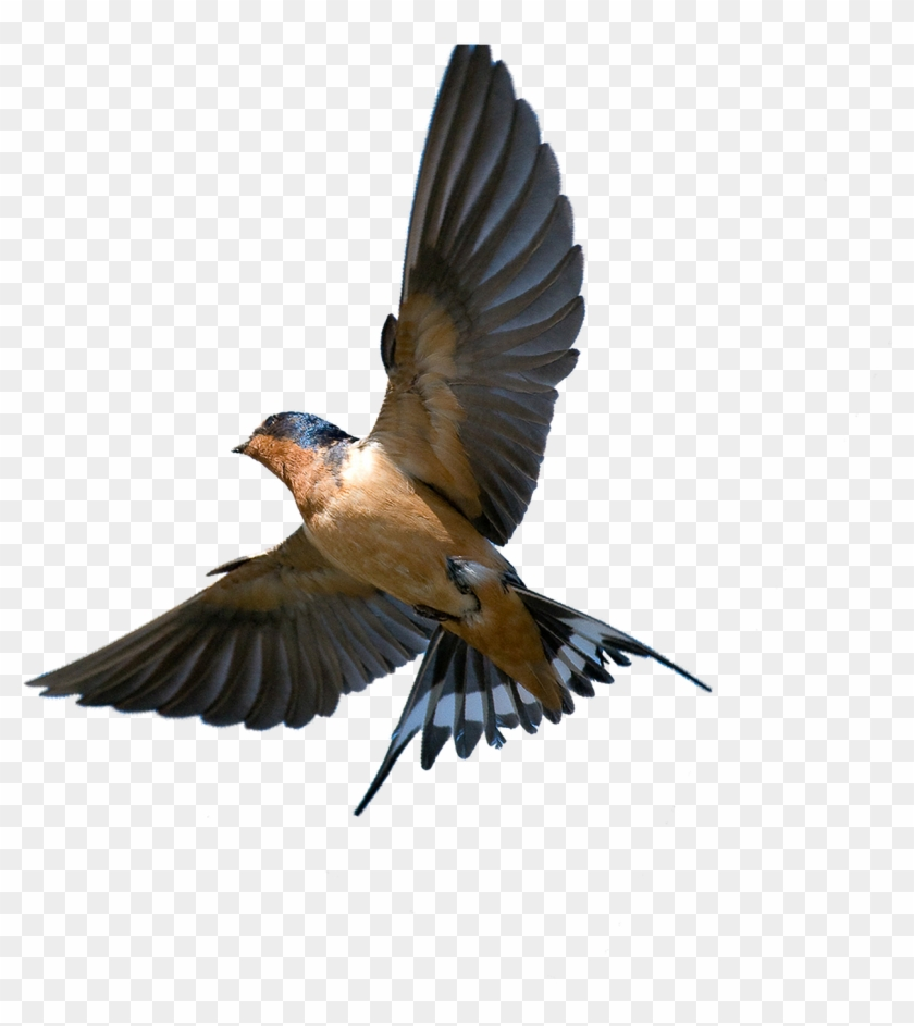 The Meaning And Symbolism Of The Word Barn Swallow In Flight