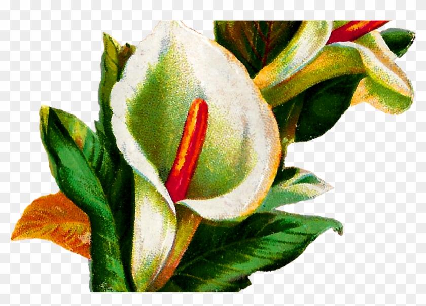 Calla Lily Flower Digital Clip Art Botanical - Calla Lily Botany Illustration #1065325