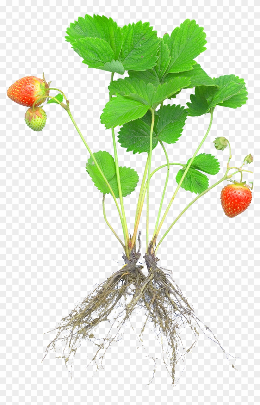 Strawberry Plant Rosaceae Fruit Cultivar - Strawberry Plant With Roots #1119694