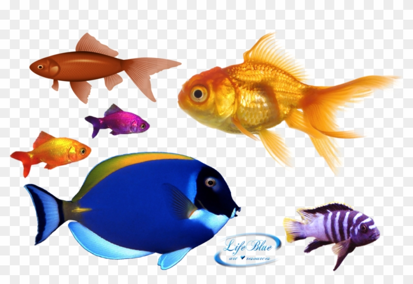 Png By Lifeblue - Gold Fish Png #1163324