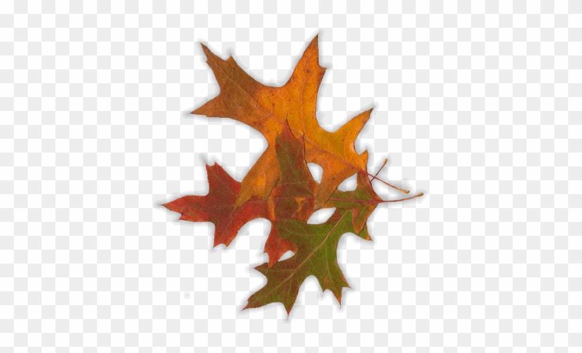 Georgia Autumn Leaves Electric Bill - Maple Leaf #1193806